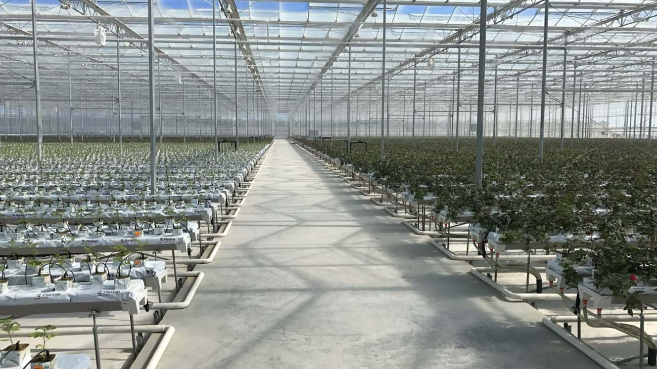 Greenhouse for growing roses in Azerbaijan