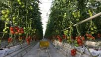 Greenhouse for growing tomatoes in Turkmenistan